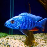 Help Yourself Finding The Right Cichlid Fish- Cichlid Kinds